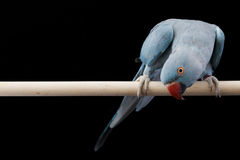 Indian Ringneck Parakeet Stock Images