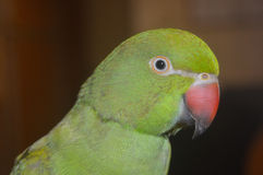 Indian Ringneck Parrot Royalty Free Stock Images