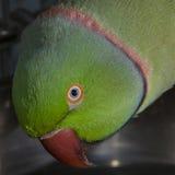 Indian Ringnecked Parakeet. Green, bird, pet indian-ringneck male,Parakeet orange eye beak stock photos
