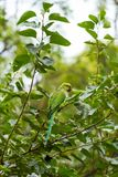 Indian Ringnecked Parakeet parrot Stock Photo