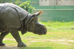 Indian Rino. stock images