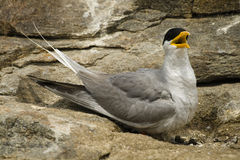 Indian River Tern Stock Photography