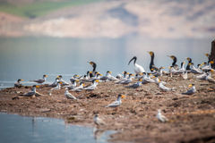 Indian river tern breeding site Stock Photo