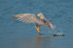 Indian river tern or just river tern (Sterna aurantia) Stock Images