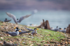 Indian river tern sighted at a breeding site. Stock Photos