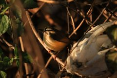 Indian robin bird. Beautiful shot of indian robin bird in sunny day Royalty Free Stock Photos