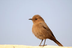 Indian robin bird Stock Photo