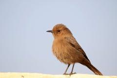 Indian robin bird Stock Photo