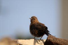 Indian robin bird Royalty Free Stock Photo