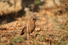 Indian robin bird Stock Image
