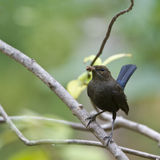 Indian robin bird in Minnerya, Sri Lanka Stock Photos