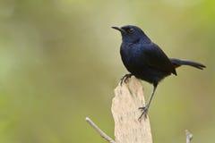 Indian robin bird in Minnerya, Sri Lanka Stock Photo