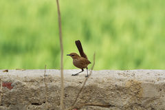 Indian Robin Bird perched on a wall with smooth green background Royalty Free Stock Photography