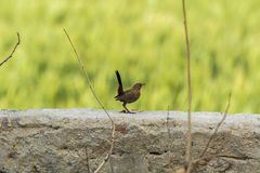 Indian Robin Bird perched on a wall with smooth green background. Closeup of an Indian Robin Bird perched on a wall with smooth green out of focus background Stock Photo