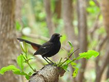 Indian Robin Female perched on tree Stock Images