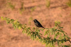 Indian Robin, myna Stock Image