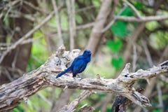 Indian robin or Saxicoloides fulicatus leucopterus Royalty Free Stock Photos