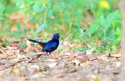 Indian Robin Royalty Free Stock Photography