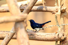 Indian Robin Stock Images