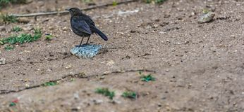 Saxicoloides fulicatus or Indian Robin on the ground stock photo