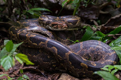 Indian Rock Python in habitat. Canon 6D f4 1/1250 ISO 500 350mmnnIndian Rock python sighted in the forest floor of western ghats India. n Royalty Free Stock Image