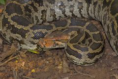 Indian Rock Python, Python molurus royalty free stock photography