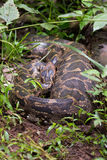 Indian Rock Python with prey in its stomach Royalty Free Stock Photo