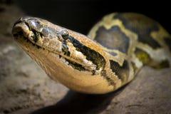Indian rock python (Python molurus). Detail of the head of a Indian rock python (Python molurus Stock Photography