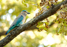 Indian Roller Royalty Free Stock Images