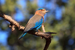 Indian Roller. In the Bandhavgarh national park in India Stock Image