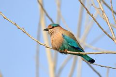 Indian roller Stock Photo