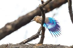 Indian Roller bird Stock Photography