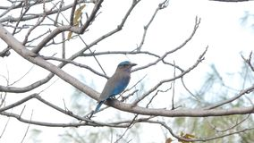 Indian roller bird in nature at tropical rain forest. stock video footage