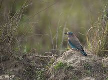 Indian Roller bird. Perched on rock, looking left, with blue feathers showing. India, Asia Stock Photography