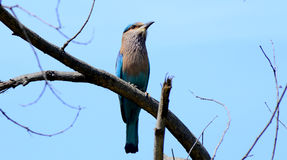 Indian roller bird Royalty Free Stock Photos
