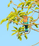 Indian roller. Bird sitting on the   branch of the tree. beautiful blue background providing beauty to the picture Royalty Free Stock Photo