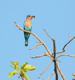 Indian roller. Bird sitting on the  dry branch of the tree. beautiful blue background providing beauty to the picture Stock Photo