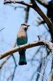 Indian roller bird Stock Photo