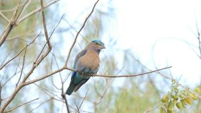 Indian roller bird in tropical rain forest. stock footage
