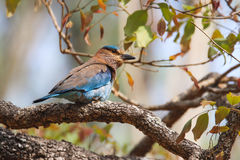 Indian Roller of Blue Jay. Blue jay in forests of western ghats India Royalty Free Stock Photos