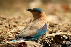 Indian Roller Catch Royalty Free Stock Photos