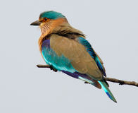 Indian Roller Coracias benghalensis. Sitting on a branch Stock Photo