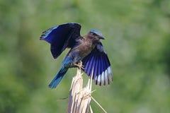 Indian roller Coracias benghalensis Beautiful Birds of Thailand Stock Images