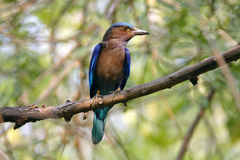 Indian roller Coracias benghalensis Beautiful Birds of Thailand Royalty Free Stock Photo
