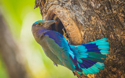 Indian roller Royalty Free Stock Photo