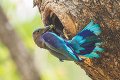 Indian roller(Coracias benghalensis) Royalty Free Stock Image