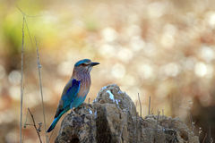 Indian Roller stock photography