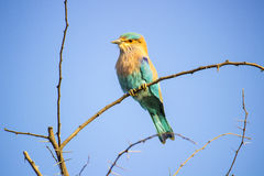 Indian Roller Coracias benghalensis. The Indian roller (Coracias benghalensis), is a member of the roller family of birds. They are found widely across tropical Royalty Free Stock Image