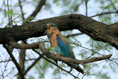 An Indian Roller (Coracias benghalensis) singing Stock Photos