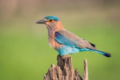 The Indian Roller, Coracias benghalensis is sitting and posing on the branch, amazing picturesque green background, in the morning royalty free stock photography